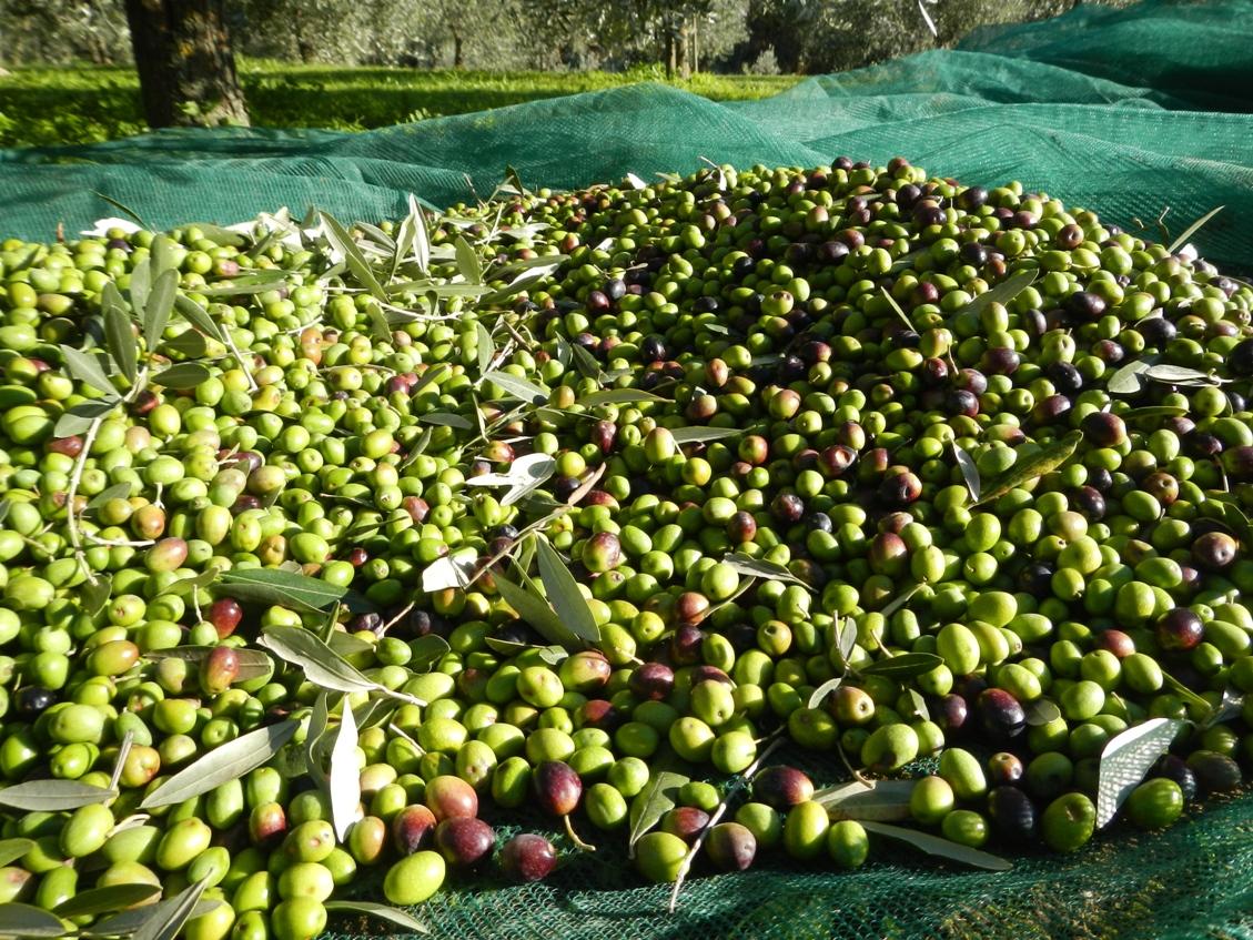 visita ad un frantoio olio extravergine di oliva come si